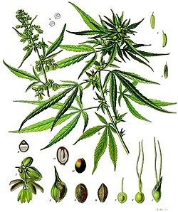 Chanvre ou canabis (Cannabis sativa)